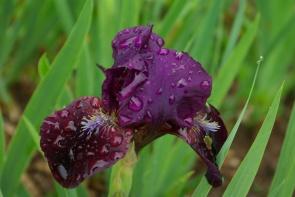Les iris après la pluie