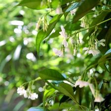 Jasmin en fleurs