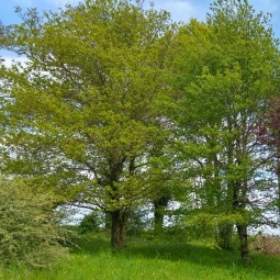Les chênes